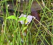 ミズオオバコの花。
